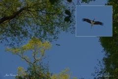 cigogne-noire