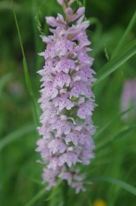 jean-goovaerts-guide-nature-florennes-orchidee1